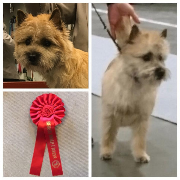 Cairn terrier Zalazar What Dreams Are Made Of