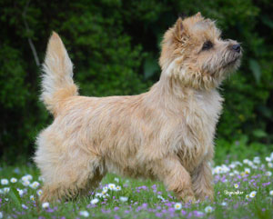 Cairn Terrier Zalazar You Win Again