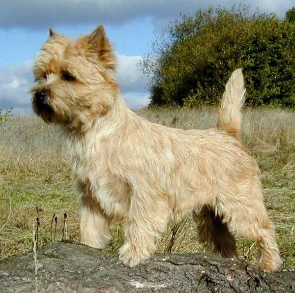 Cairn Terrier Zalazar Paradise Cocktail