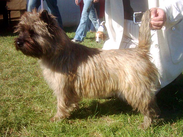 Cairn Terrier Zalazar Drop Dead Beautiful