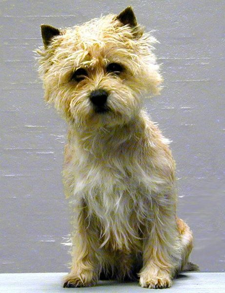 Cairn Terrier Zalazar Jerry Hall