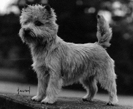 Cairn Terrier Cairndy Kringle