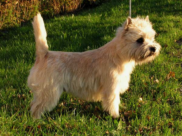 Cairn Terrier Zalazar Headhunter