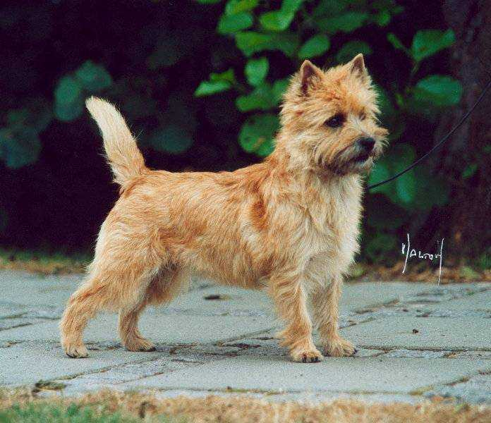 Cairn Terrier Zalazar Voodoo Magic