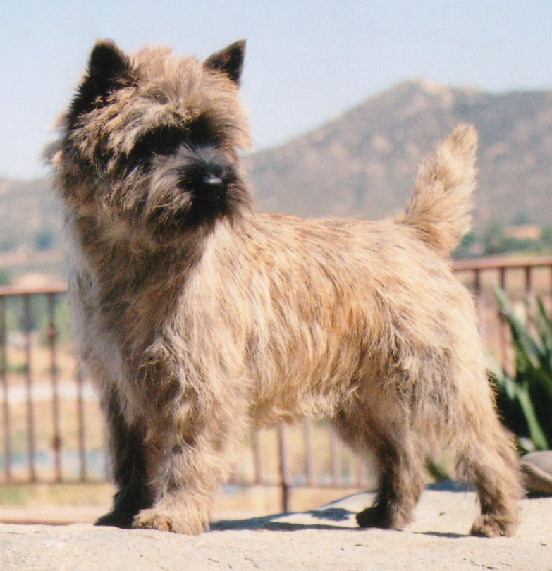 Cairn Terrier Zalazar On The Road