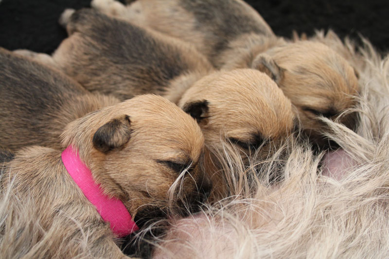 Zalazar Cairn Terrier puppies