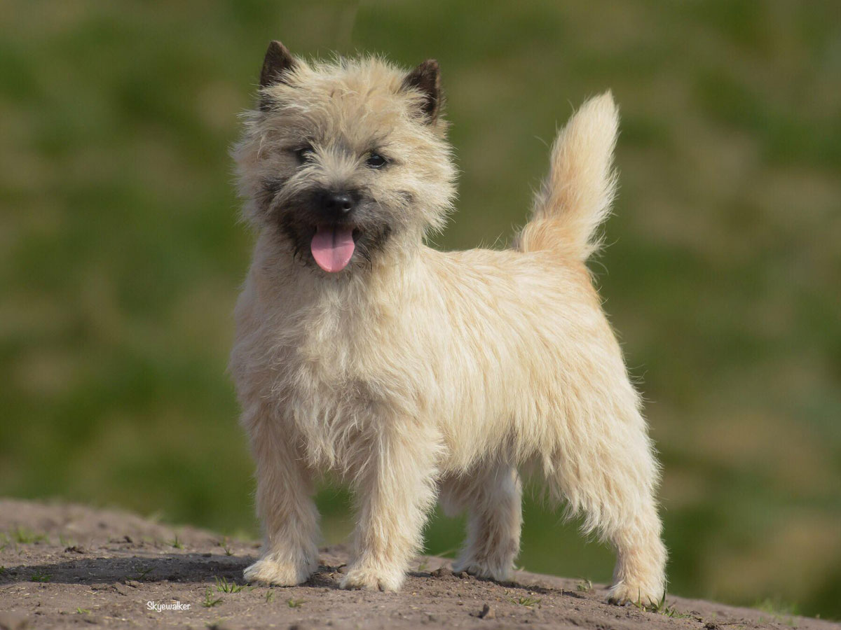 Cairn Terrier Quite Unique From Hoity Toity Gang