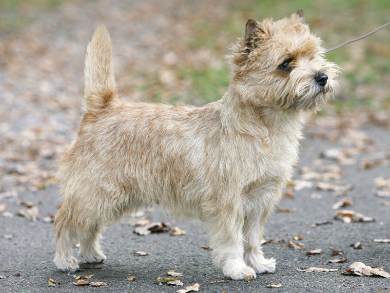 Cairn Terrier Zalazar Un Zipped! At Starveren