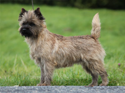 Cairn Terrier Zalazar Goes To Hollywood