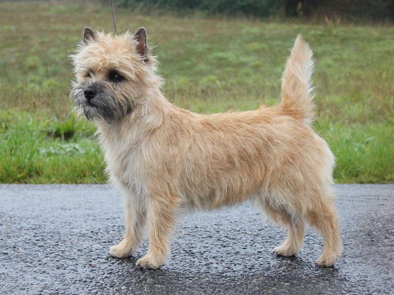 Cairn Terrier Zalazar New Dawn